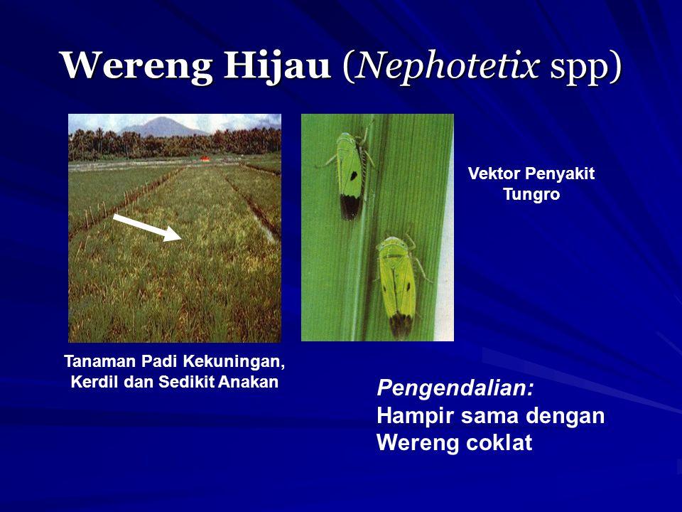 Wereng Hijau (Nephotetix spp) Tanaman Padi Kekuningan, Kerdil dan Sedikit Anakan Vektor Penyakit Tungro Pengendalian: Hampir sama dengan Wereng coklat
