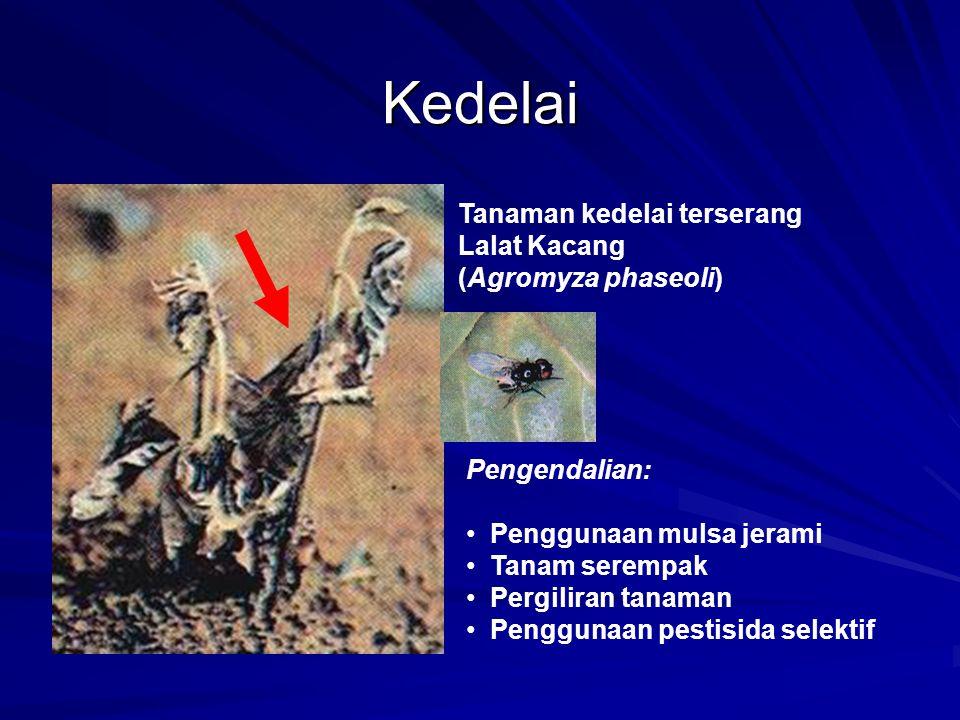 Kedelai Tanaman kedelai terserang Lalat Kacang (Agromyza phaseoli) Pengendalian: Penggunaan mulsa jerami Tanam serempak Pergiliran tanaman Penggunaan