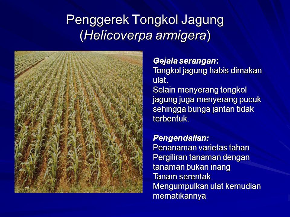Penggerek Tongkol Jagung (Helicoverpa armigera) Gejala serangan: Tongkol jagung habis dimakan ulat. Selain menyerang tongkol jagung juga menyerang puc