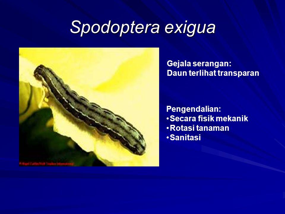 Spodoptera exigua Gejala serangan: Daun terlihat transparan Pengendalian: Secara fisik mekanik Rotasi tanaman Sanitasi