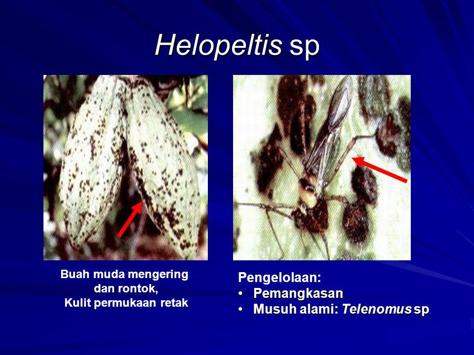 Helopeltis sp Buah muda mengering dan rontok, Kulit permukaan retak Pengelolaan: PemangkasanPemangkasan Musuh alami: Telenomus spMusuh alami: Telenomu