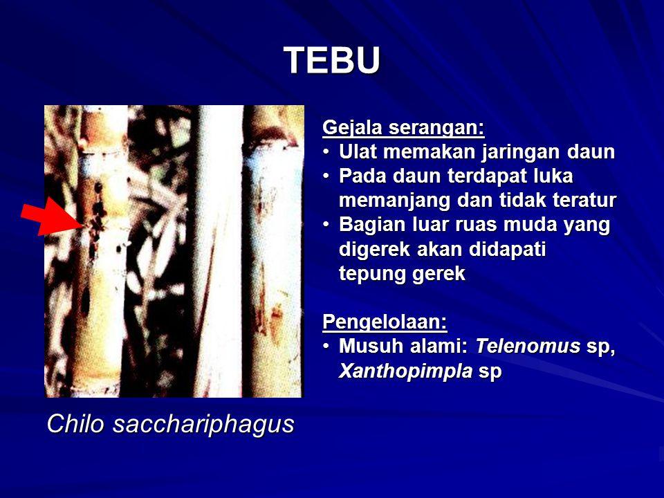 TEBU Chilo sacchariphagus Gejala serangan: Ulat memakan jaringan daunUlat memakan jaringan daun Pada daun terdapat luka memanjang dan tidak teraturPad