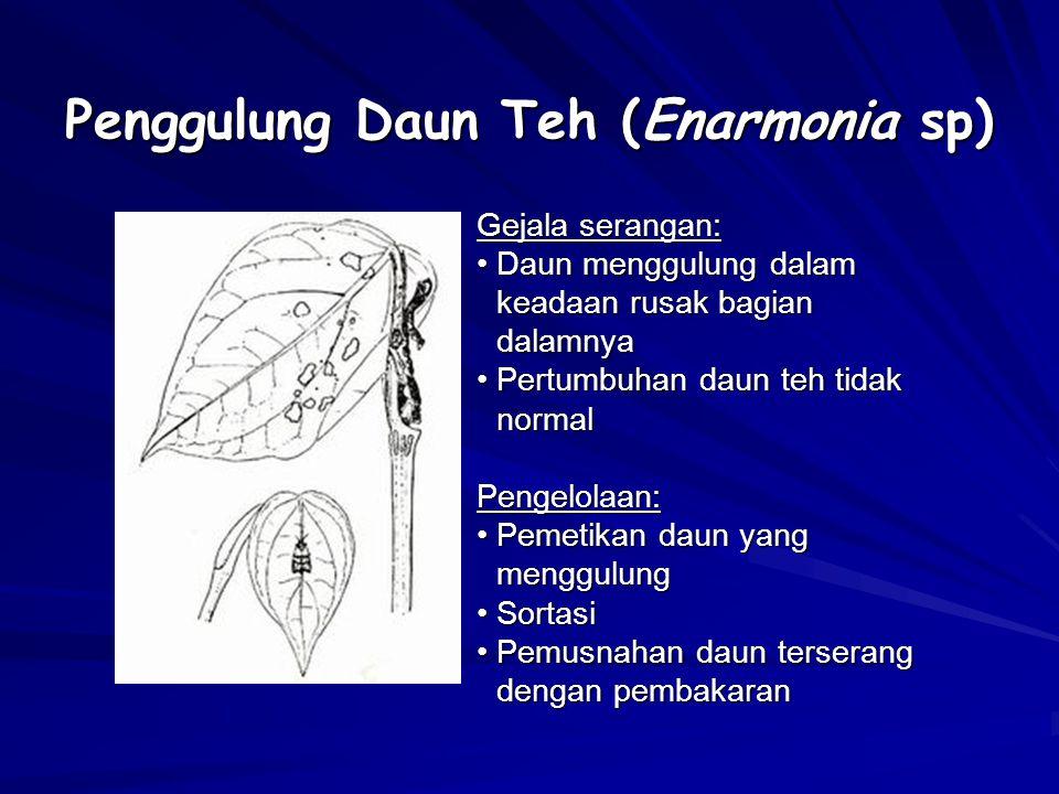 Penggulung Daun Teh (Enarmonia sp) Gejala serangan: Daun menggulung dalam keadaan rusak bagian dalamnyaDaun menggulung dalam keadaan rusak bagian dala