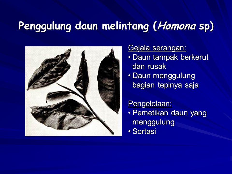 Penggulung daun melintang (Homona sp) Gejala serangan: Daun tampak berkerut dan rusakDaun tampak berkerut dan rusak Daun menggulung bagian tepinya saj