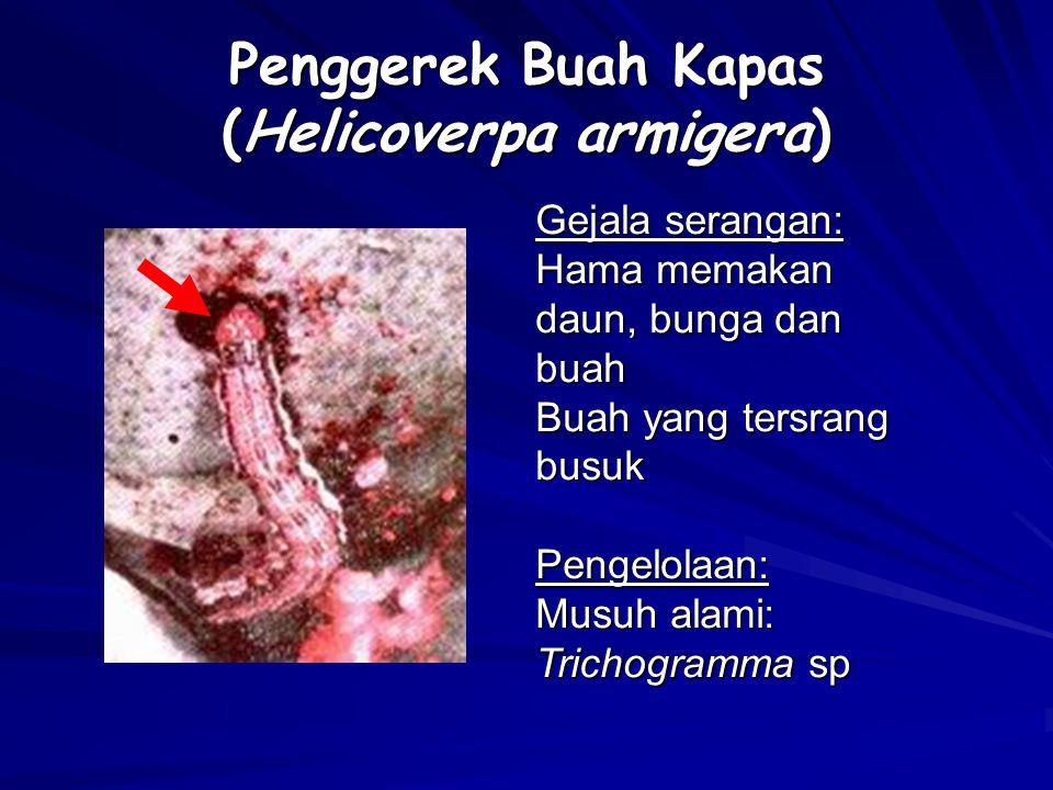 Penggerek Buah Kapas (Helicoverpa armigera) Gejala serangan: Hama memakan daun, bunga dan buah Buah yang tersrang busuk Pengelolaan: Musuh alami: Tric