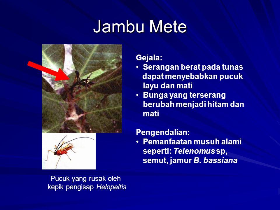 Jambu Mete Pucuk yang rusak oleh kepik pengisap Helopeltis Gejala: Serangan berat pada tunas dapat menyebabkan pucuk layu dan mati Bunga yang terseran