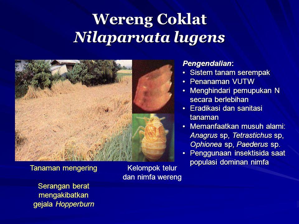 Wereng Coklat Nilaparvata lugens Tanaman mengering Serangan berat mengakibatkan gejala Hopperburn Kelompok telur dan nimfa wereng Pengendalian: Sistem