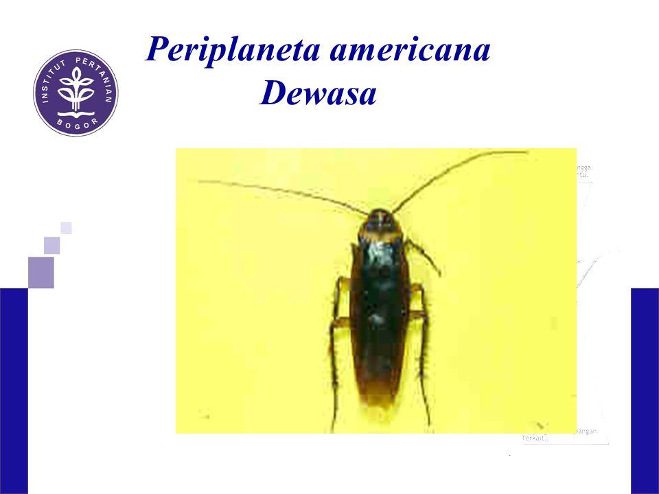 Periplaneta americana Dewasa