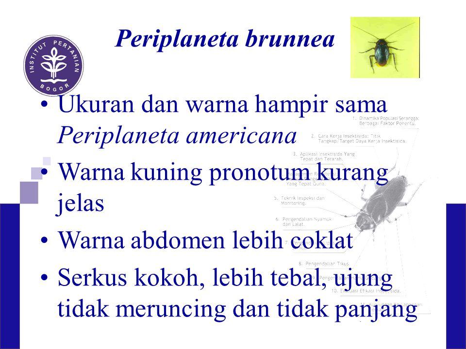 Periplaneta brunnea Ukuran dan warna hampir sama Periplaneta americana Warna kuning pronotum kurang jelas Warna abdomen lebih coklat Serkus kokoh, leb
