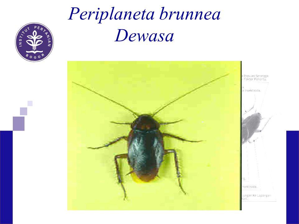 Periplaneta brunnea Dewasa