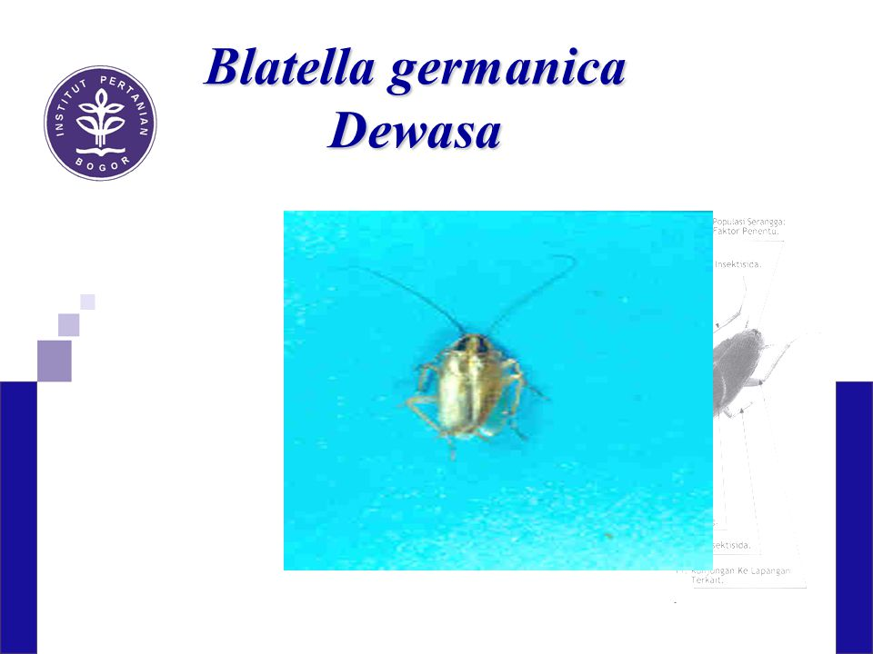 Blatella germanica Dewasa