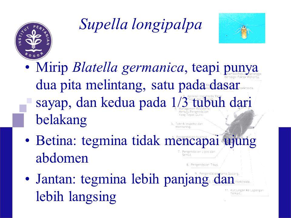 Supella longipalpa Mirip Blatella germanica, teapi punya dua pita melintang, satu pada dasar sayap, dan kedua pada 1/3 tubuh dari belakang Betina: teg