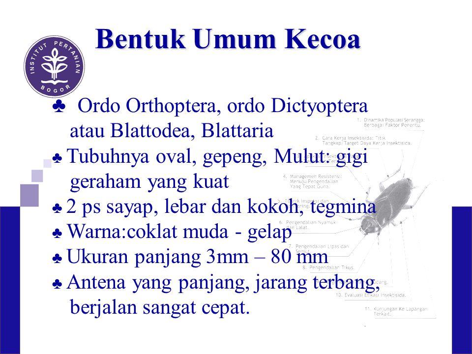 Bentuk Umum Kecoa ♣ Ordo Orthoptera, ordo Dictyoptera atau Blattodea, Blattaria ♣ Tubuhnya oval, gepeng, Mulut: gigi geraham yang kuat ♣ 2 ps sayap, l