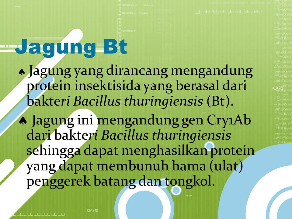 Jagung Bt  Jagung yang dirancang mengandung protein insektisida yang berasal dari bakteri Bacillus thuringiensis (Bt).  Jagung ini mengandung gen Cr