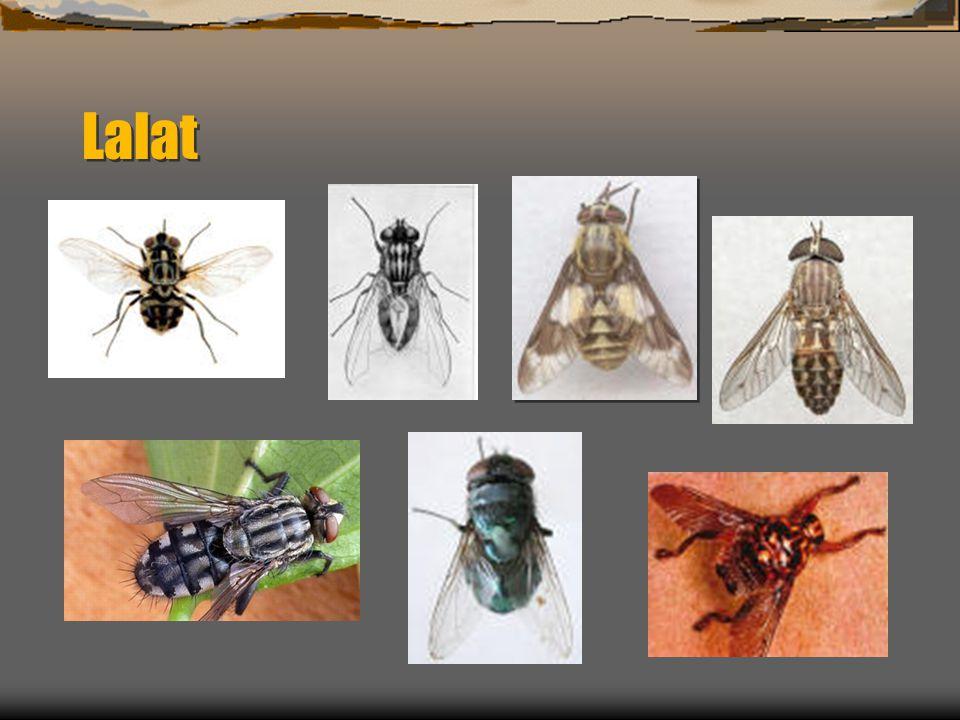 Chrysomya megacephala (Lalat Hijau)  Lalat bertelur pada karkas,feses atau bahan organik yang membusuk.