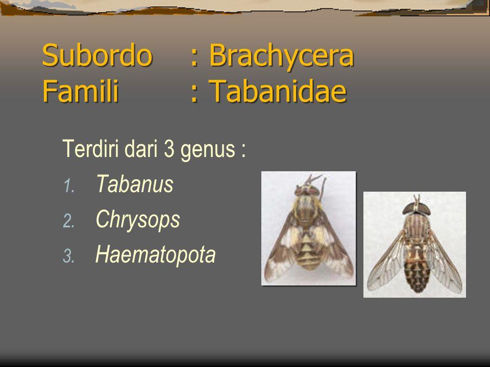 Subordo: Brachycera Famili : Tabanidae Terdiri dari 3 genus : 1. Tabanus 2. Chrysops 3. Haematopota