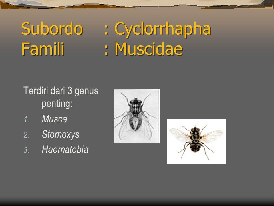 Subordo: Cyclorrhapha Famili : Muscidae Terdiri dari 3 genus penting: 1.