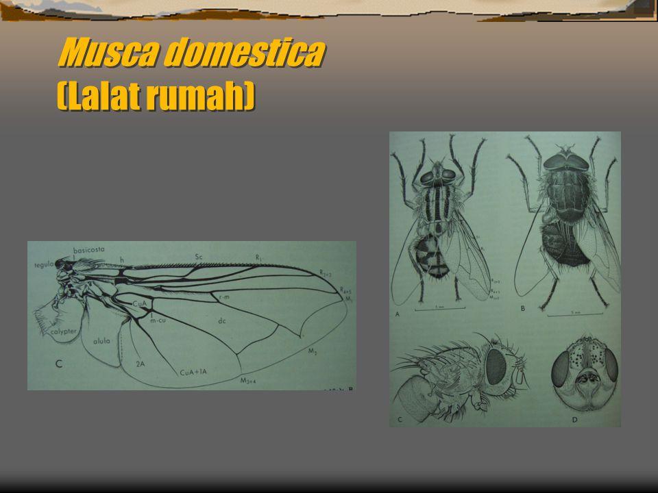 Biologi Musca domestica  Daur hidup : Telur – Larva – Pupa – Dewasa/imago (metamorfosis sempurna)  Telur, berbentuk seperti pisang, warna krem, diletakkan berkelompok.