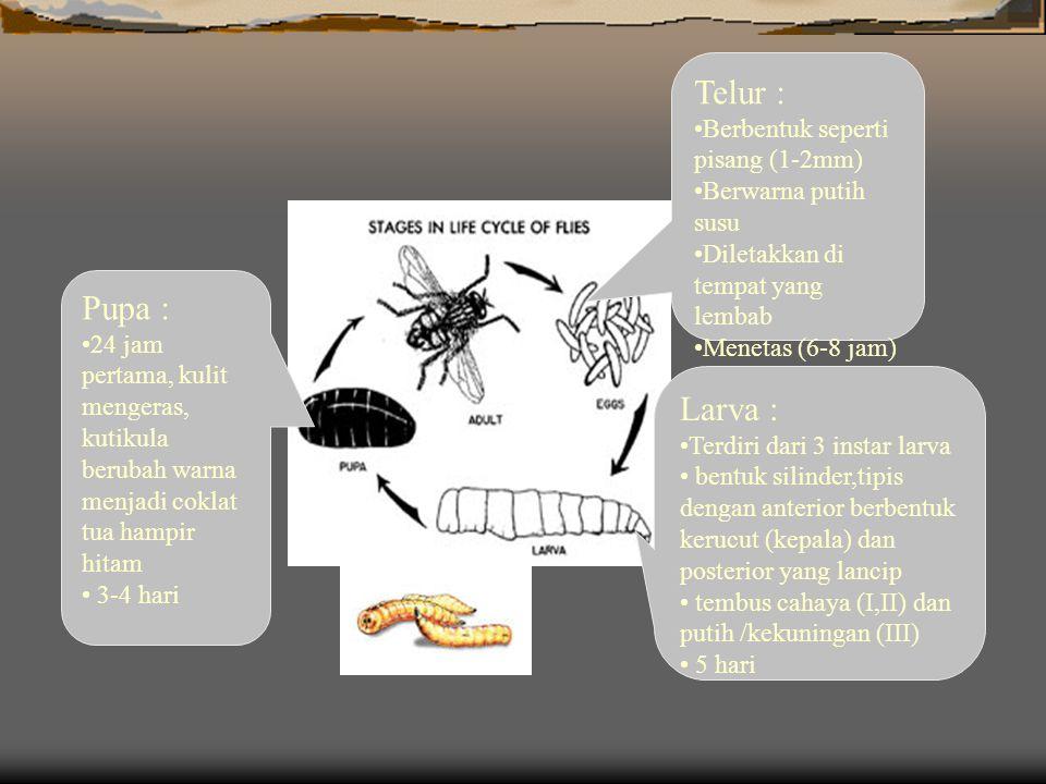 Telur : Berbentuk seperti pisang (1-2mm) Berwarna putih susu Diletakkan di tempat yang lembab Menetas (6-8 jam) Larva : Terdiri dari 3 instar larva bentuk silinder,tipis dengan anterior berbentuk kerucut (kepala) dan posterior yang lancip tembus cahaya (I,II) dan putih /kekuningan (III) 5 hari Pupa : 24 jam pertama, kulit mengeras, kutikula berubah warna menjadi coklat tua hampir hitam 3-4 hari