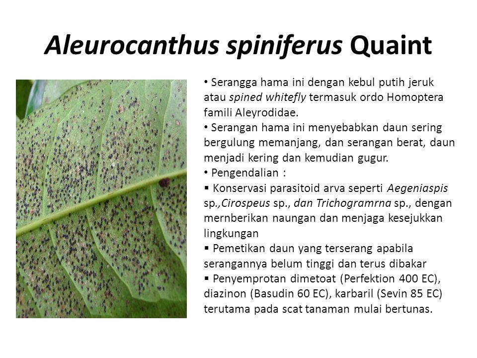 Aleurocanthus spiniferus Quaint Serangga hama ini dengan kebul putih jeruk atau spined whitefly termasuk ordo Homoptera famili Aleyrodidae. Serangan h