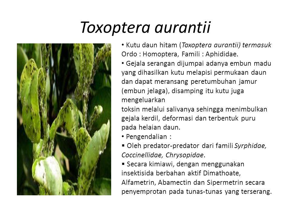 Toxoptera aurantii Kutu daun hitam (Toxoptera aurantii) termasuk Ordo : Homoptera, Famili : Aphididae. Gejala serangan dijumpai adanya embun madu yang