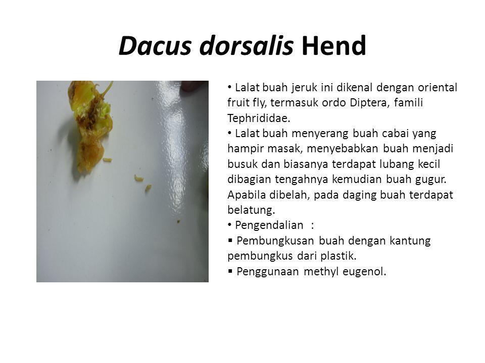Dacus dorsalis Hend Lalat buah jeruk ini dikenal dengan oriental fruit fly, termasuk ordo Diptera, famili Tephrididae. Lalat buah menyerang buah cabai