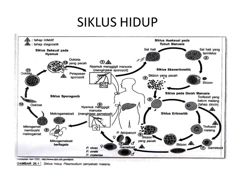 SIKLUS HIDUP