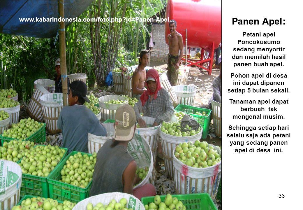 33 www.kabarindonesia.com/foto.php?jd=Panen-Apel... Panen Apel: Petani apel Poncokusumo sedang menyortir dan memilah hasil panen buah apel. Pohon apel