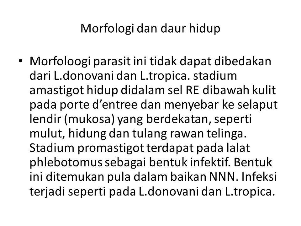 Morfologi dan daur hidup Morfoloogi parasit ini tidak dapat dibedakan dari L.donovani dan L.tropica. stadium amastigot hidup didalam sel RE dibawah ku