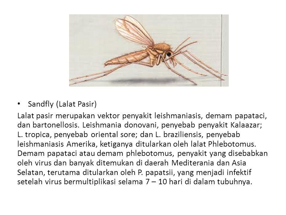 Sandfly (Lalat Pasir) Lalat pasir merupakan vektor penyakit leishmaniasis, demam papataci, dan bartonellosis. Leishmania donovani, penyebab penyakit K