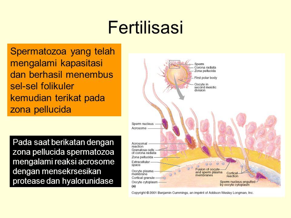 Fertilisasi Spermatozoa yang telah mengalami kapasitasi dan berhasil menembus sel-sel folikuler kemudian terikat pada zona pellucida Pada saat berikat