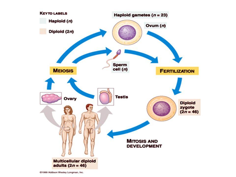 Sel Telur Merupakan hasil perkembangan dari sel-sel primordial yang bermigrasi dari kantung yolk yang berkembang membentuk gonad dan gamet Keistimewaan dari sel telur adalah kemampuannya untuk membentuk individu yang lengkap ketika mengalami fertilisasi.