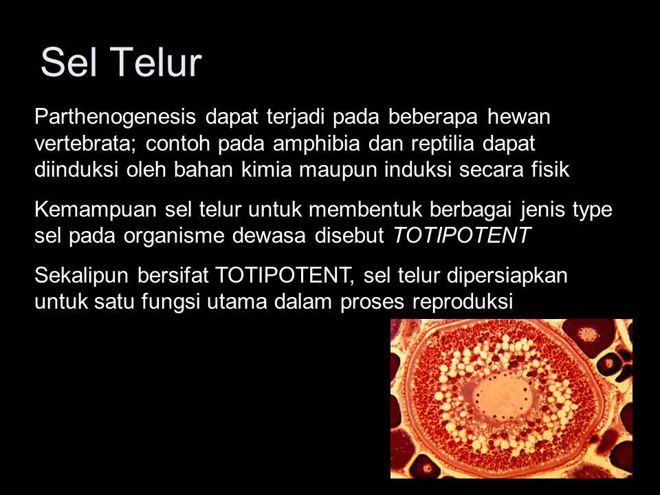 Sel Telur Sel telur pada umumnya adalah sel yang berukuran lebih besar dari sel-sel lain di dalam tubuh, karena dilengkapi dengan yolk untuk pertumbuhannya yang independent Sitoplasma sel telur mengandung banyak cadangan makanan berupa yolk Kandungan yolk meliputi lemak, protein dan polysakarida yang berbentuk butiran, disebut Yolk Granules Kandungan Yolk pada hewan yang berkembang di luar tubuh induk dapat mencapai 95%