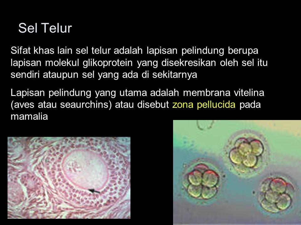 Proses fertilisasi terdiri 4 tahap yaitu : (1) kontak dan pengenalan antara spermatozoa dan sel telur, (2) regulasi masuknya spermatozoa ke dalam sel telur, (3) fusi materi genetic spermatozoa dan sel telur serta (4) aktivasi metabolisme zigot untuk mengawali perkembangan.