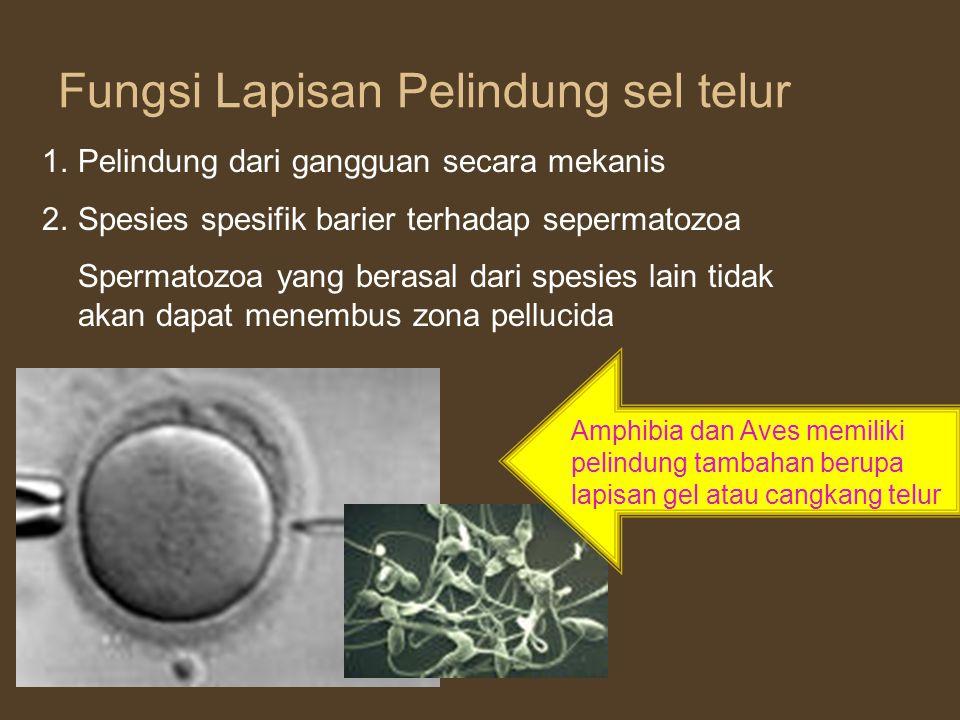 Parrish and First (1993) mendeskripsikan peristiwa proses fertilisasi melibatkan : (1) menempelnya spermatozoa ke zona pelucida, (2) binding ke zona pelucida, (3) reaksi akrosom, (4) penetrasi zona pelucida, (5) fusi membran plasma oosit dan spermatozoa, (6) aktivasi oosit untuk meiosis II, (6) reaksi kortikal granul untuk memblok polispermia, reaksi zona (hardening zona), (7) swelling kepala spermatozoa, (8) dekondensasi kromatin spermatozoa dan oosit serta singami dari dua pronuklei.
