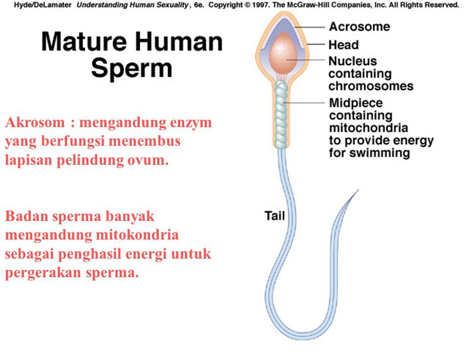 Akrosom : mengandung enzym yang berfungsi menembus lapisan pelindung ovum. Badan sperma banyak mengandung mitokondria sebagai penghasil energi untuk p
