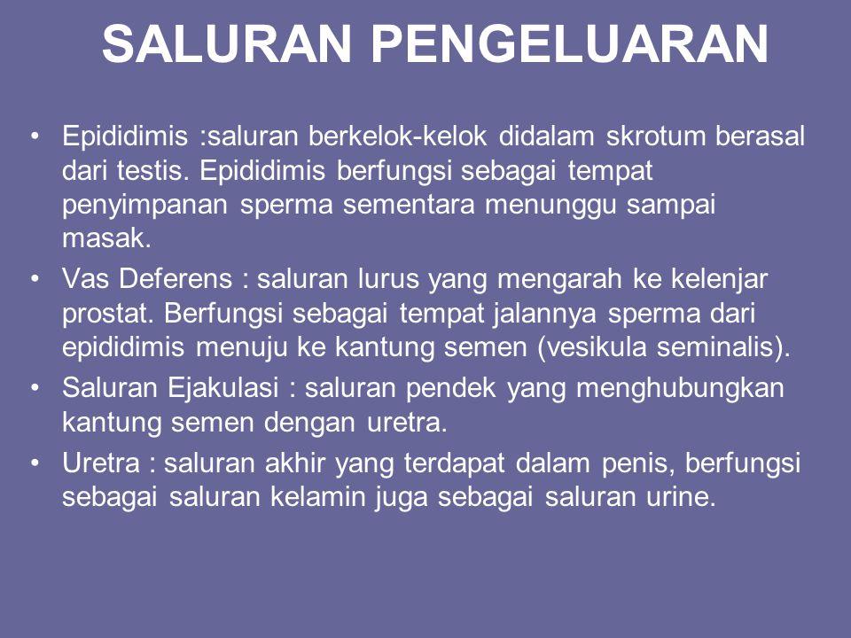 SALURAN PENGELUARAN Epididimis :saluran berkelok-kelok didalam skrotum berasal dari testis. Epididimis berfungsi sebagai tempat penyimpanan sperma sem