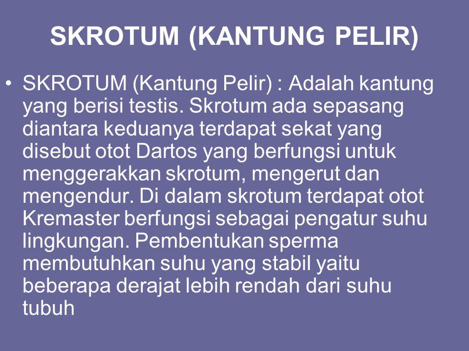 SKROTUM (KANTUNG PELIR) SKROTUM (Kantung Pelir) : Adalah kantung yang berisi testis. Skrotum ada sepasang diantara keduanya terdapat sekat yang disebu