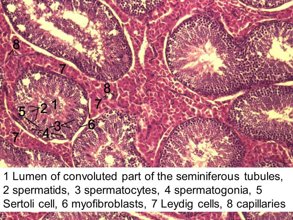 1 Lumen of convoluted part of the seminiferous tubules, 2 spermatids, 3 spermatocytes, 4 spermatogonia, 5 Sertoli cell, 6 myofibroblasts, 7 Leydig cel
