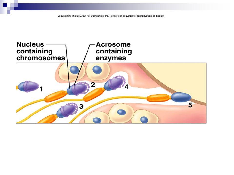 Penempelan pertama sperma terjadi reaksi responsif sel telur Diawali dengan depolarisasi ion kalsium dari dalam sel ke luar sel sehingga granula korteks pecah dalam sitoplasma telur Granula korteks beserta lapisan vitelina dan membran plasma membentuk lapisan membran pencegah fertilisasi (membran fertilisasi) atau antifertilisin.