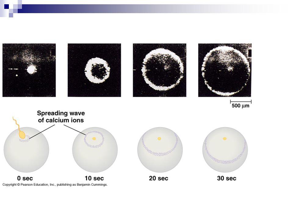 Akrosom yang telah berhasil menembus lapisan-lapisan pada telur akan membentuk saluran akrosom untuk menyalurkan materi genetik inti sel terjadi aktivasi untuk melanjutkan pembelahan meiosis II, sehingga terbentuk sel ovum dan satu badan polar Terjadi penggabungan materi genetik induk pada zigot Dilanjutkan dengan proses embriogenesis