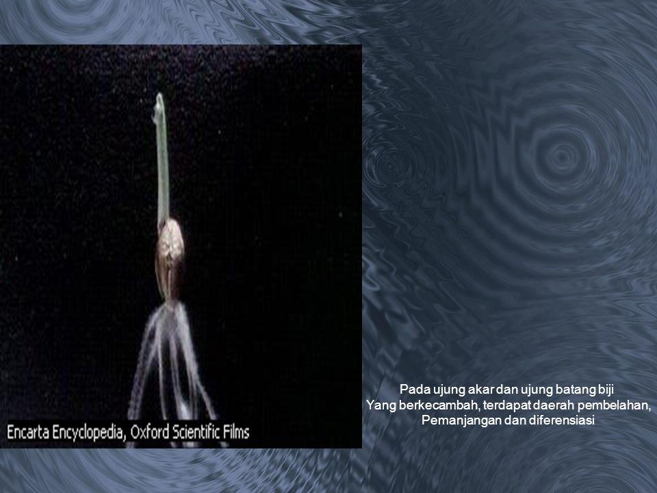 Pada ujung akar dan ujung batang biji Yang berkecambah, terdapat daerah pembelahan, Pemanjangan dan diferensiasi