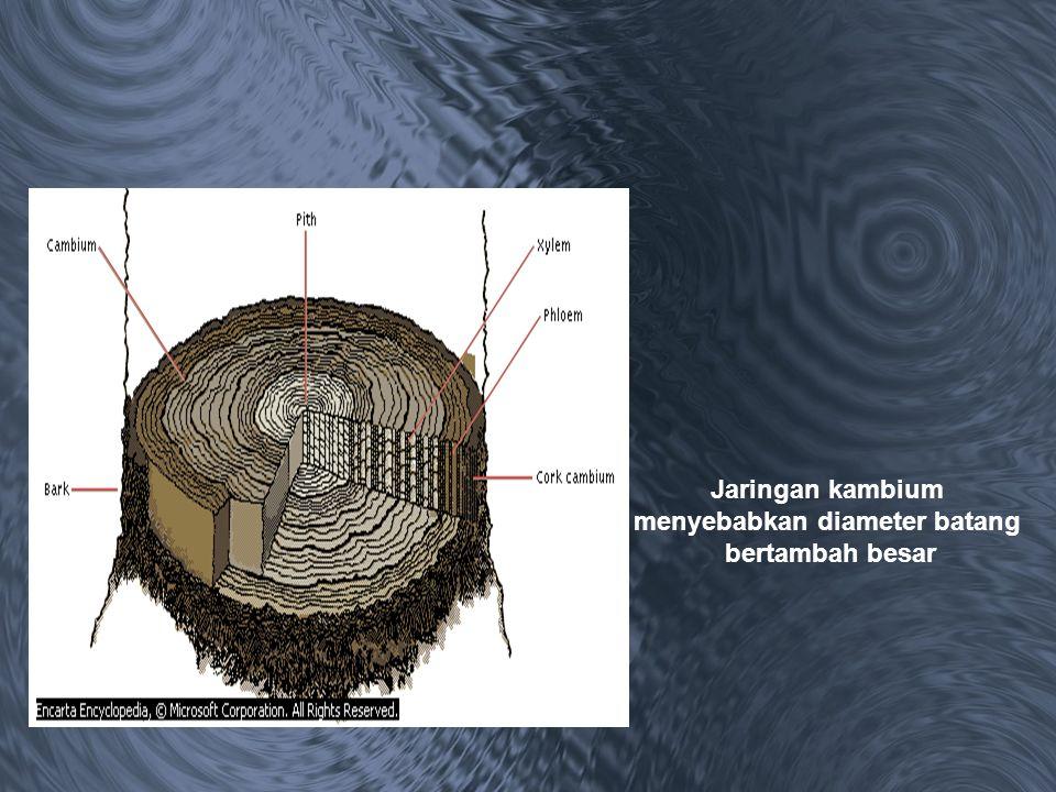 Jaringan kambium menyebabkan diameter batang bertambah besar