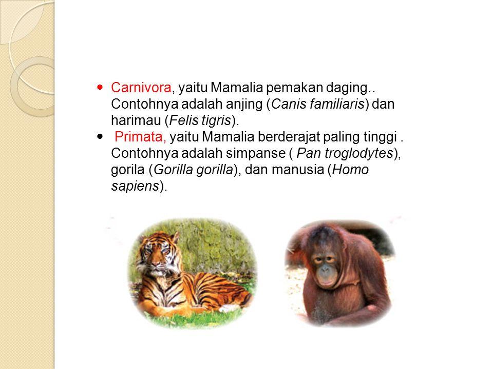 Carnivora, yaitu Mamalia pemakan daging..