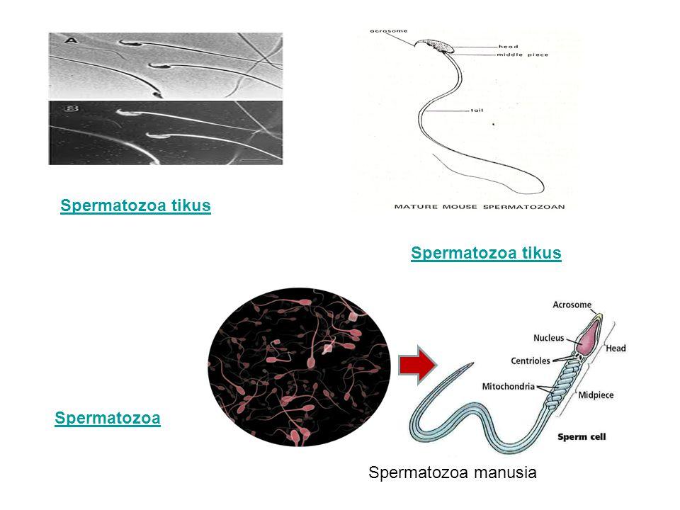 Spermatozoa Spermatozoa tikus Spermatozoa manusia