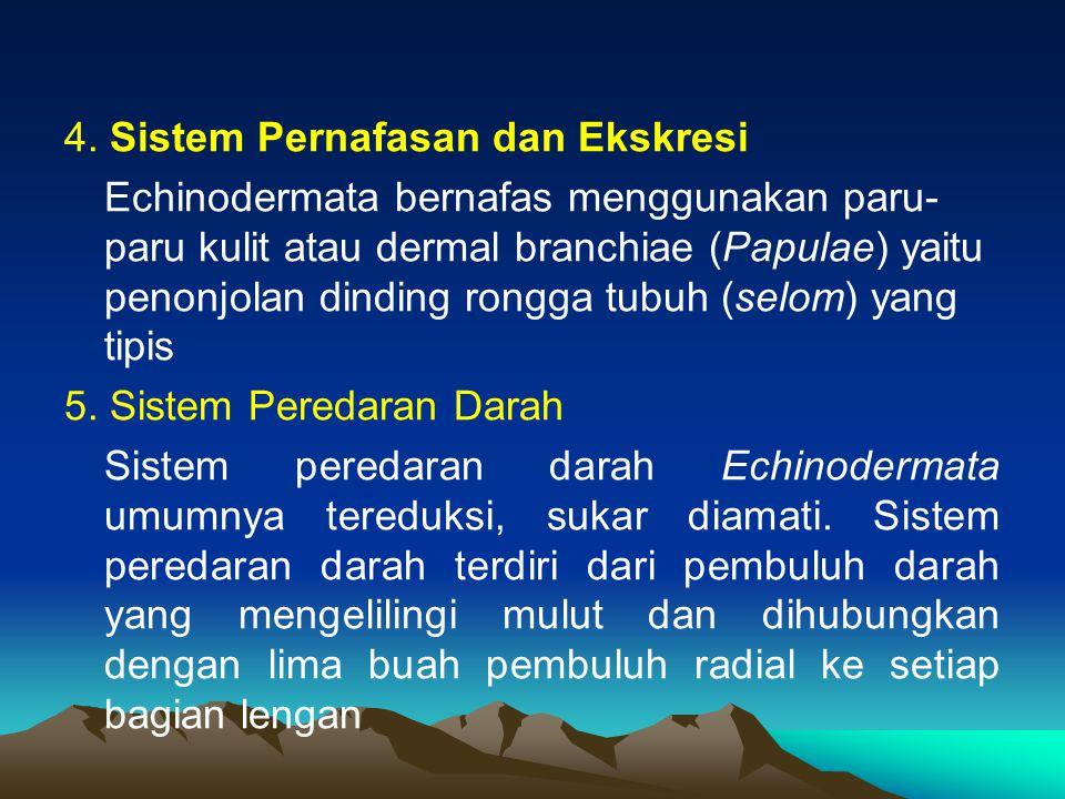 4. Sistem Pernafasan dan Ekskresi Echinodermata bernafas menggunakan paru- paru kulit atau dermal branchiae (Papulae) yaitu penonjolan dinding rongga