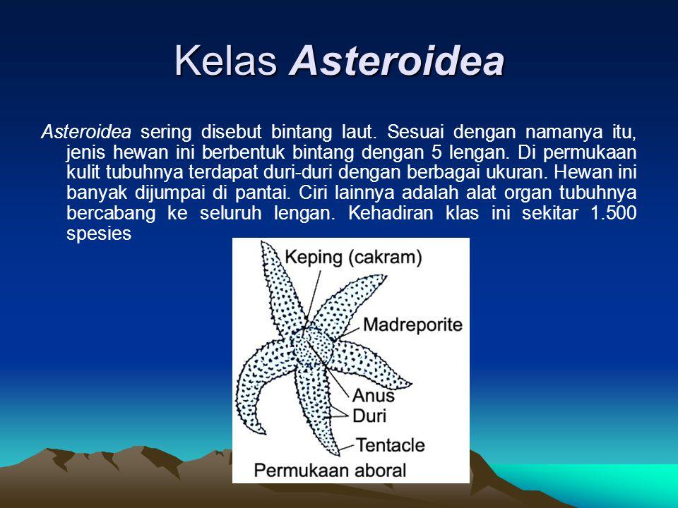 Kelas Asteroidea Asteroidea sering disebut bintang laut. Sesuai dengan namanya itu, jenis hewan ini berbentuk bintang dengan 5 lengan. Di permukaan ku