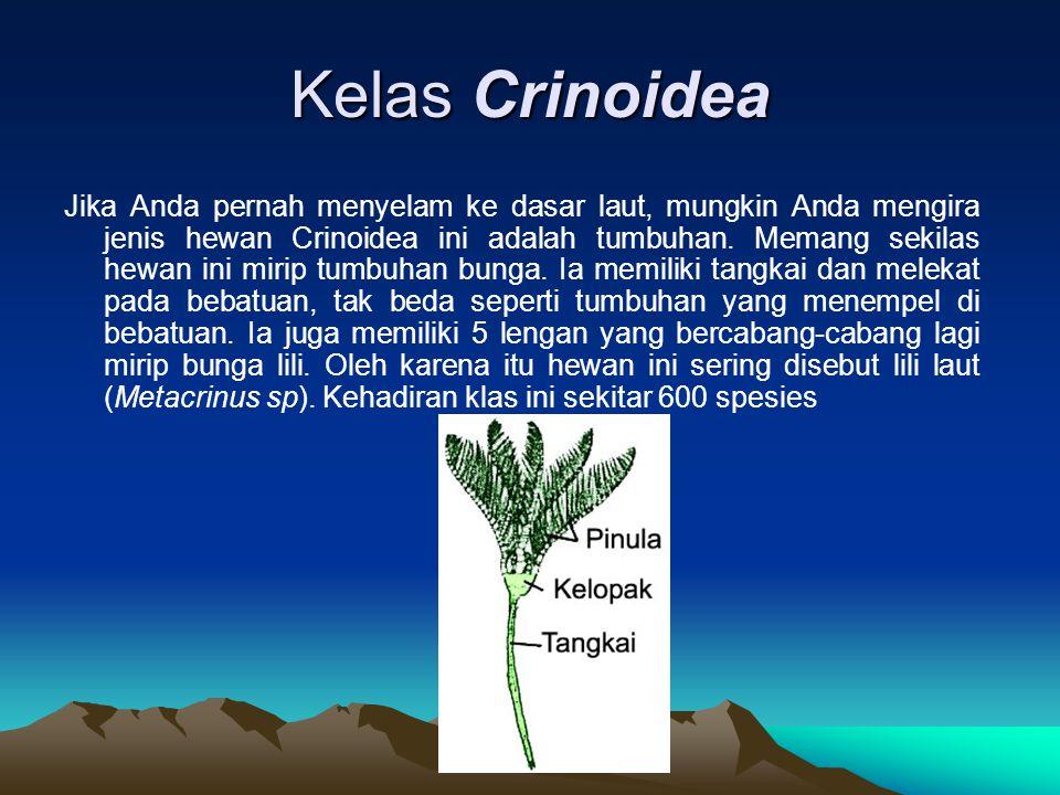 Kelas Crinoidea Jika Anda pernah menyelam ke dasar laut, mungkin Anda mengira jenis hewan Crinoidea ini adalah tumbuhan. Memang sekilas hewan ini miri