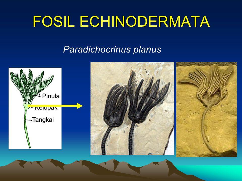 FOSIL ECHINODERMATA Paradichocrinus planus