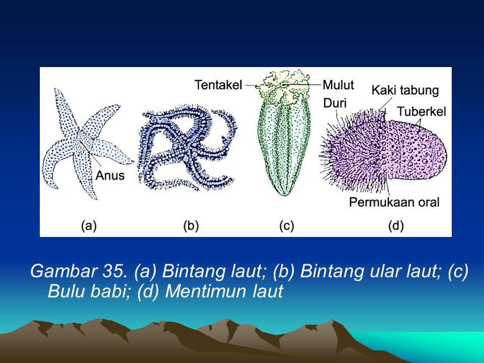 Gambar 35. (a) Bintang laut; (b) Bintang ular laut; (c) Bulu babi; (d) Mentimun laut